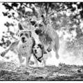 Drei Hunde laufen um die Wette.Schwarzweiss.
