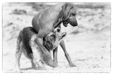 Zwei Hunde agieren im Sand. Sie zeigen dabei typisches Ausdrucksverhalten. Es sieht aus wie eine ernsthafte Auseinandersetzung, ist aber Spiel. Dabei wird die ganze Bandbreite möglichen Verhaltens geprobt. Im Wesentlichen werden Erfahrungen gemacht, sich angemessen aggressiv zu verhalten. Schwarzweiss.