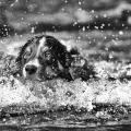 Ein Border Collie im Wasser. Schwarzweiss Aufnahme mit coloriertenAugen.