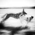 Zwei Hunde rennen über ein Feld. Bewegungsunscharf. Schwarzweiss.